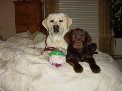 labrador retrievers - Allee and Frankie