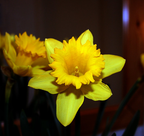 'LET THE SUNSHINE IN'  -  'HAPPY EASTER'   -   ' Narcissus'  -  'Narcissus pseudonarcissus'  -  'Daffodil'
