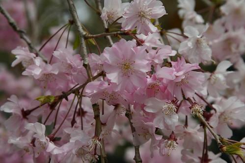 Sakura at Ninna-ji
