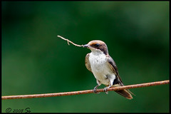 wire-tailed swallow (shivanayak) Tags: india wire swallow shiva karnataka tailed  shivanayak wiretailedswallow 2007 shivashankar