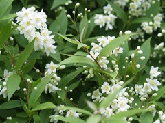 Deutzia gracilis'Nikko' (maggie_and_her_camera) Tags: horticulture maggieneely