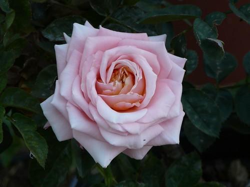 pink_rose-1140563