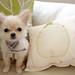 チワワ:pillow.jpg