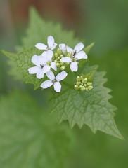 Knoblauchsrauke (alliaria petiolata) 03 (bernd1969) Tags: plant flower forest herbs wiese p blume blte wald kruter flanzen