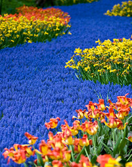 Blue Carpet (Philipp Klinger Photography) Tags: pink blue flower holland nature netherlands carpet spring colours curve topf250 keukenhof lisse superaplus aplusphoto artlegacy