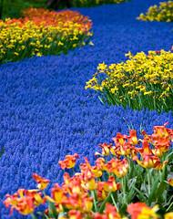 Blue Carpet (Philipp Klinger Photography) Tags: pink blue flower holland nature netherlands carpet spring colours curve topf250 keukenhof lisse superaplus aplusphoto artlegacy