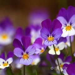 For Denise (and everyone else who loves purple) (♥ B i b b i ♥) Tags: flower canon spring flora sweden stockholm blomma sverige wildflower 2008 soe vår 30d värmdö heartsease violatricolor canon30d styvmorsviol sigma70300mmf456apodgmacro anawesomeshot storängsudd