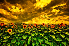Sunflowerland - Repetitive Nightmares (TheJbot) Tags: sky japan clouds fire extreme sunflowers 日本 distillery hdr jbot lightroom ひまわり photomatix thejbot 2009challenge 2009challenge212