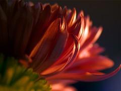 Mums (Gary Breashears) Tags: flowers macro bokeh olympus mums e510