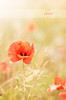Gracefulness in the wind ♥1 (dhmig) Tags: flowers red italy sun flower nature 50mm nikon dof bokeh outdoor meadow piemonte poppy poppies piedmont novara gracefulness poppiesfield nikond7000 dhmig dhmigphotography