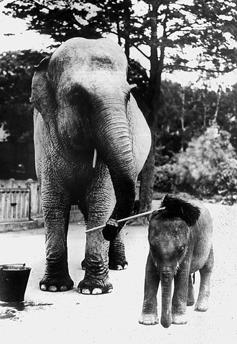 Female ♀ Asian elephant (<em>Elephas maximus</em>) Komali at Dublin Zoo