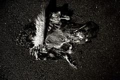 FLYING_5281.JPG (Cyclops Optic) Tags: bw dismal documentary omaha 24mm wnwthebirds