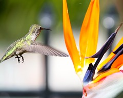"""Landing Gear"" (Don Baird) Tags: fab bird hummingbird birdofparadise hummer humming worldsbest naturesfinest wonderfulworld superbmasterpiece diamondclassphotographer onlythebestare thatsclassy"