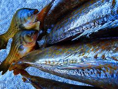 Bay Area Fish Catch (Nihihiro & Shihiro) Tags: bay san francisco area catch impressedbeauty thatsclassy