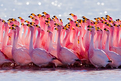 Mating Ritual: James's Flamingo (szeke) Tags: lake bird water animal landscape gallery place artistic expression wildlife flamingo bolivia soe natures altiplano naturesfinest lagunahedionda p1f1 andeanflamingo jamessflamingo phoenicopterusjamesi punaflamingo