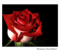 Roses are Red (Ms Ladyred) Tags: light red macro love nature beauty rose hope bravo peace fragrant rosesarered magicdonkey xoxoxoxoxoxox impressedbeauty aplusphoto