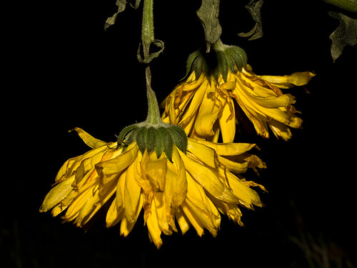 Picture of withered yellow calendula flowers (pot marigold)
