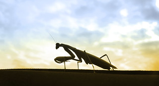 Mantis this Midday (2)