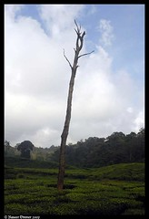 all alone (Naseer Ommer) Tags: tea kerala plantation trunk greenery teaplantation palghat nelliampathy naseerommer
