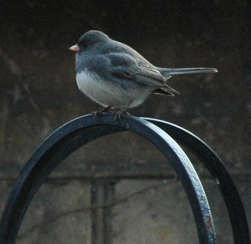 Slate-Colored Junco, Junco hyemalis hyemalis
