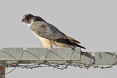 032054-IMG_4828 Grey Falcon (Falco hypoleucos) (ajmatthehiddenhouse) Tags: greyfalcon grayfalcon falcohypoleucos falco hypoleucos sa southaustralia bird 2007 tfowb australia globalbirdtrekkers avibase