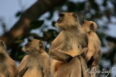 Langur family (dickysingh) Tags: wild india nature animals monkey outdoor wildlife aditya langur rajasthan ranthambore singh ranthambhore dicky tigerreserve commonlangur adityasingh dickysingh ranthamborebagh theranthambhorebagh wwwranthambhorecom