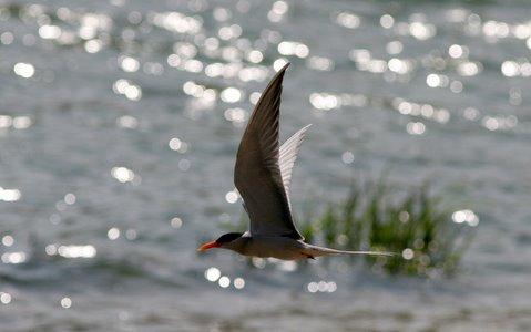 river tern on kaveri galibore 161207