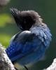 Steller's Jay (Dave Stiles) Tags: birds bluejay mountrainiernationalpark ornithology stellersjay stiles wingedwonders
