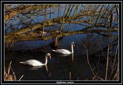 swans on leybourne lake kent (stevekeat images best viewed large) Tags: uk england lake nature birds animals kent scenery view wildlife scene swans leybourne snodland larkfield leybournelake