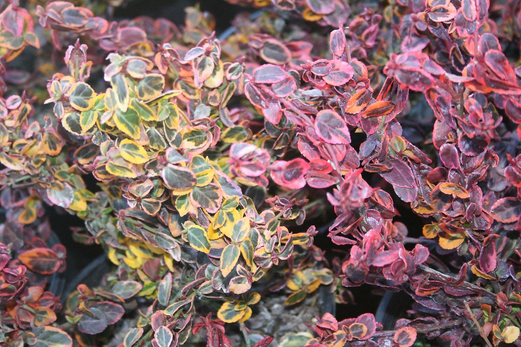 Euonymus fortunei 'Emerald and Gold' (Winter Color)