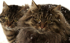 toiles (de neige) (marineavoile) Tags: winter snow ontario canada cat snowflakes chat hiver ottawa neige flocons bestofcats marineavoile59 boc0208 marineavoile marinearmstrong