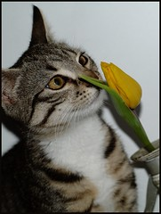 Wake up and smell the flowers (Kirsten M Lentoft) Tags: flower yellow marie cat dark kitten kat feline chat kitty tulip katze tappy momse2600 kirstenmlentoft