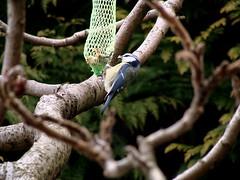 Titmouse (delphy2101) Tags: bird titmouse vogel meise