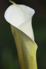 IMG_2078 (aimlyss) Tags: white flower callalily