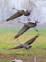 Triple-decked (tinyfishy) Tags: california bird flying inflight bravo cranes soe sandhill naturesfinest mercednwr mywinners anawesomeshot impressedbeauty superbmasterpiece diamondclassphotographer goldstaraward