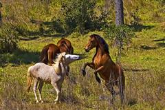 Let's Celebrate (Bill Adams) Tags: horses horse hawaii explore bigisland bec animalplanet rearing naturesfinest blueribbonwinner firstquality honokaa canonef70200mmf28lisusm mywinners kaenapeterson