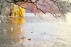 Swans and ducks (cromo1975) Tags: lago ducks swans svizzera lugano