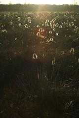 Cottongrass sunset (Murel Merivee) Tags: sunset evening spring bog wetland mire cottongrass nigula