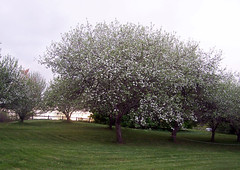 AppleTrees_51708b