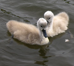 Cygnets - Svanunger (flips99) Tags: summer cute water birds june norway swan cygnet fluffy vann fugler karmy skudeneshavn naturesfinest bigmomma svane babymomma aplusphoto theunforgettablepictures natureoutpost thechallengefactory