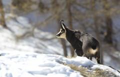 Camosci16 (Lunghefocali.snc) Tags: camoscio rupicaprarupicapra dolomiti valdifiemme trentino altamontagna biancoenero wildlife nature
