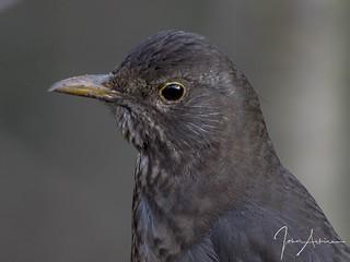 Female Blackbird portrait 19/02/17
