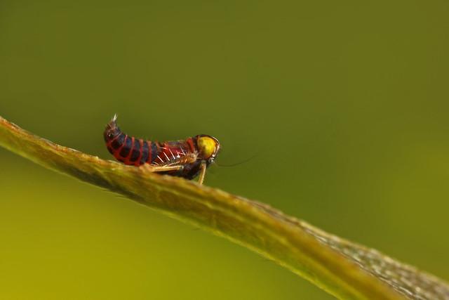 Leafhopper (Coelidia olitoria) nymph