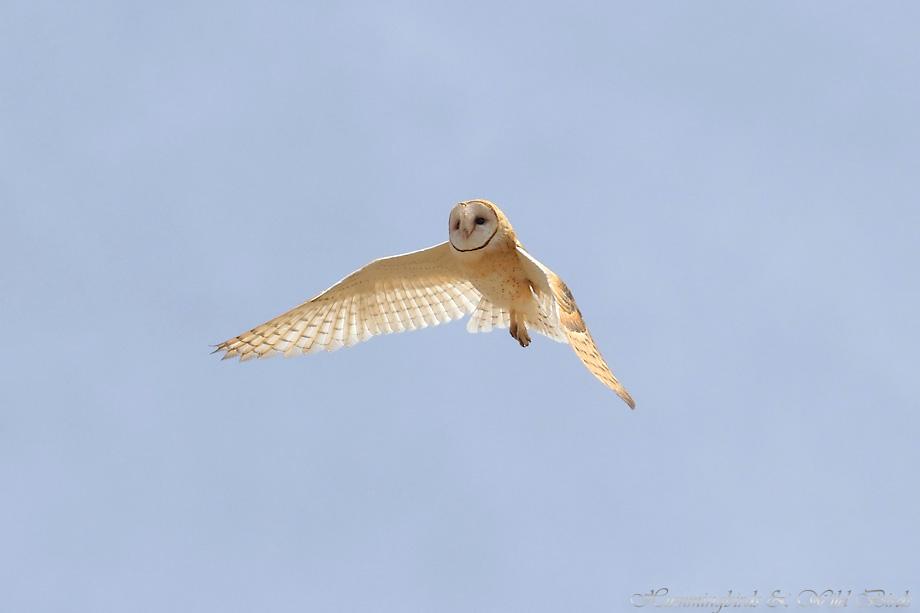 Barn-Owl-051104
