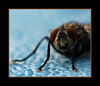 mouche (billou33) Tags: macro insect flies mouche insectes beautifulmonsters