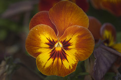 Pansy (Largeguy1) Tags: flower macro canon mark pansy ii 5d approved
