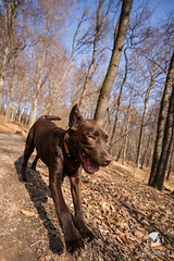 14mm, Day 3 (mikee.wilczek) Tags: dog canon lens lab labrador forrest walk chocolate ii doggy 28l 14mm