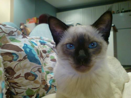 Victoria's kitten -