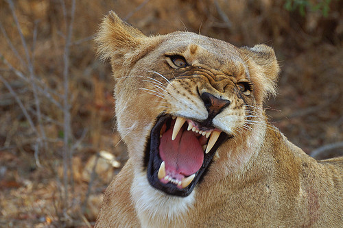 Image Gallery lioness roaring