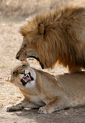 true love (AnyMotion) Tags: africa cats animals tanzania tiere wildlife ngc 2006 lions afrika serengeti tansania pantheraleo africansky anymotion supershot 25faves mywinners platinumheartaward bfgreatesthits bestofanimals thebestofgodscreation discoveryphotos actionaufnahmen
